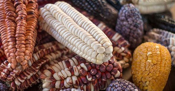 el-origen-del-maiz