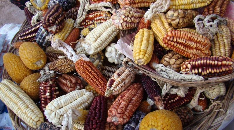domesticación maíz amazonia