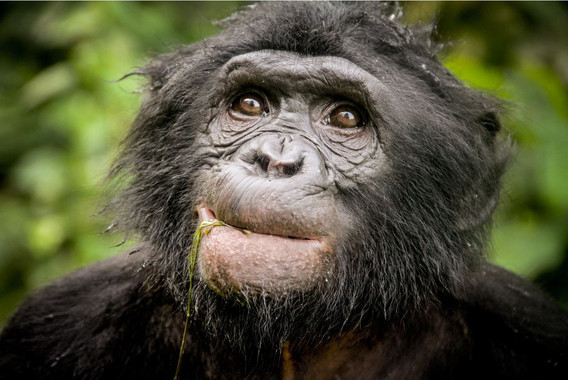 Descubierto-un-nuevo-linaje-de-chimpance-extinto-en-el-ADN-de-bonobo_